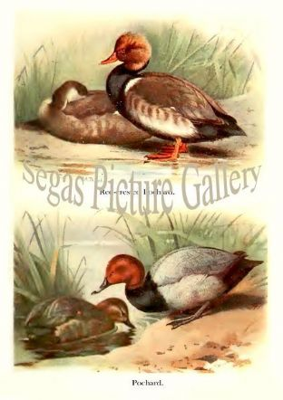 Red-crested Pochard & Pochard